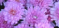 November birth flower: chrysantemum